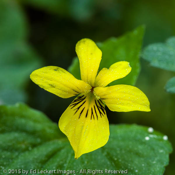 Smooth yellow violet, Olympic National Park, Washington
