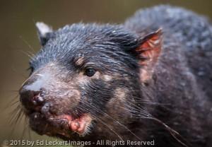 A Face Only a Mother..., Tasmanian Devil Unzoo, Tasmania, Australia
