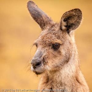 Forester Kangaroo, Tasmanian Devil Unzoo, Tasmania, Australia