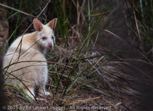 Albino Bennett's Wallaby, South Bruny National Park, Tasmania