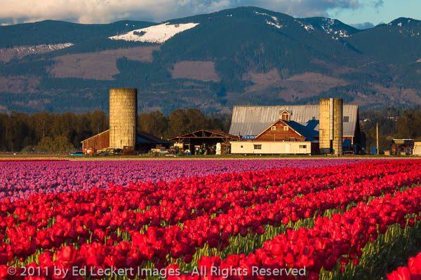 Tulip Farm, Mt. Vernon, Washington