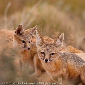 Two young coyotes or foxes play near their den, near Wahweap, Arizona.