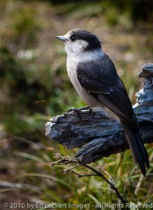 Gray Jay on the Trail, Okanogan National Forest, Washington
