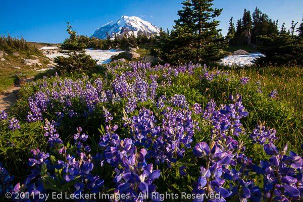 Lupine in Spray Park, Mount Rainier National Park, Washington