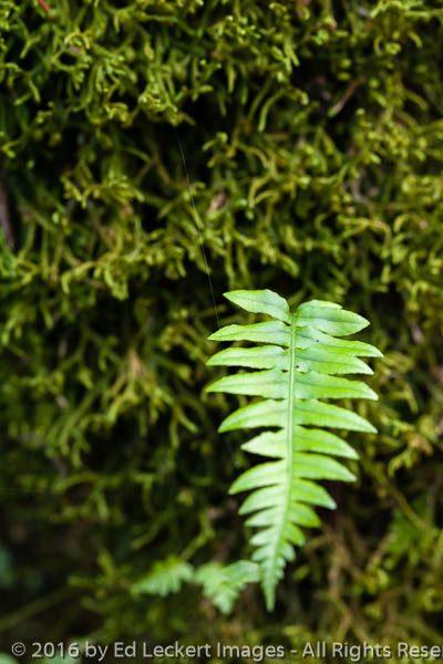 Fern on Tree, Cougar Mountain Wildland Park, Issaquah, Washingto
