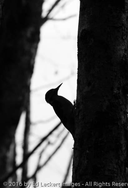 Woodpecker at Work, Cougar Mountain Wildland Park, Issaquah, Was