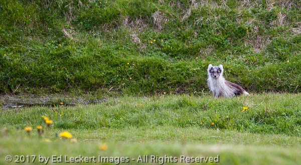 Shedding Arctic Fox, Þórsmörk National Park, Iceland