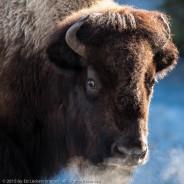 Alert Bison, Yellowstone National Park, Wyoming
