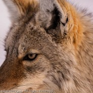 Coyote Close, Yellowstone National Park, Wyoming