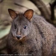 Curious Tasmanian Pademelon, The Nut State Reserve, Tasmania, Australia