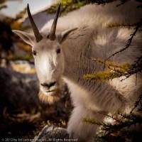 Curious Goat, Alpine Lakes Wilderness, Washington