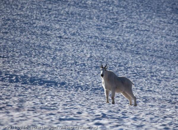 Goat on Snowfield, Glacier National Park, Montana