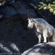 Goat on a Rock, Alpine Lakes Wilderness, Washington