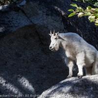 Goat on a Rock, Alpine Lakes Wilderness, Washington