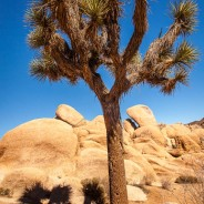 Joshua Tree and Shadow, Joshua Tree National Park, California