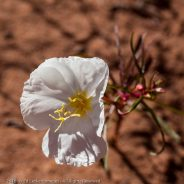 Pale evening-primrose, Arches National Park, Utah