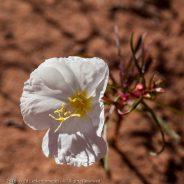 Pale evening-primrose, Arches National Park, Utah