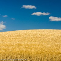 Palouse Wheat Fields, The Palouse, Idaho