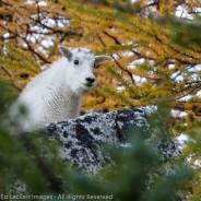 Peek-A-Boo Goat, Alpine Lakes Wilderness, Washington