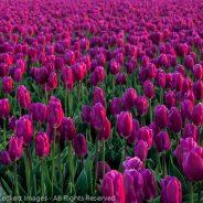 Pink Tulips, Mt. Vernon, Washington