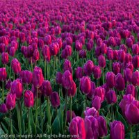 Pink Tulips, Mt. Vernon, Washington