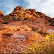Sandstone and Wildflowers, Valley of Fire State Park, Nevada