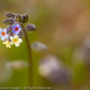 Small-flowered forget-me-not, Memaloose State Park, Oregon
