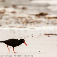 Sooty Oystercatcher, Mount William National Park, Tasmania, Australia