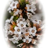 Tea Tree Bouquet, Cradle Mountain-Lake St Clair National Park, Tasmania, Australia
