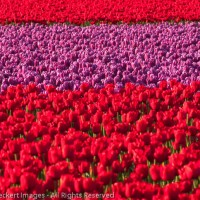 Tulip mania, RoozenGaarde tulip farm, Mt. Vernon, Washington