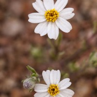 White Easterbonnets, Tonto National Forest, Arizona