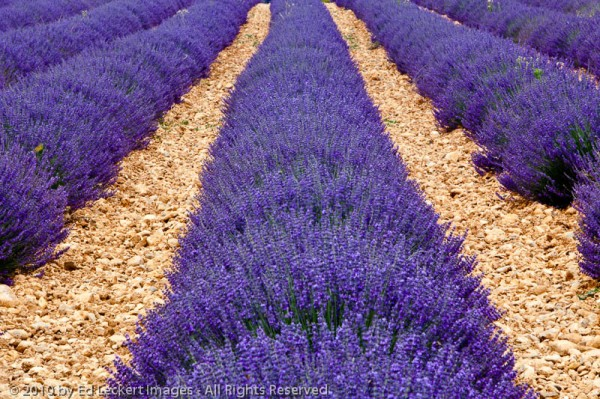Lavender Field, Valensole, France