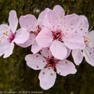 Cluster of Cherry Blossoms, State Capitol, Olympia, Washington