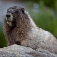Curious Hoary Marmot, Sunrise, Mount Rainier National Park, Washington