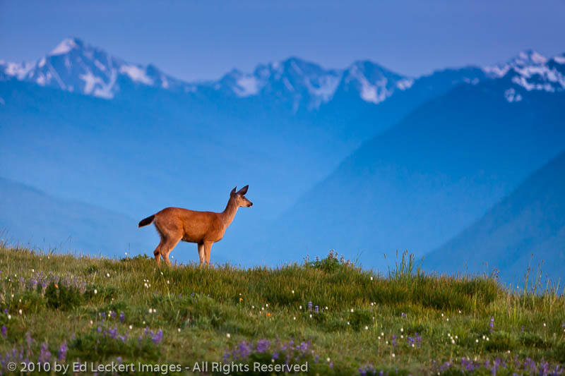 Doe on Hurricane Ridge, Olympic National Park, Washington