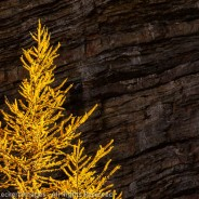Fiery Larch, Yoho National Park, British Columbia