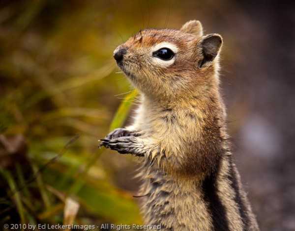 Golden-Mantled Ground Squirrel, Mt. Assiniboine Provincial Park, British Columbia