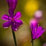 Grass Widows, Tom McCall Nature Preserve, Oregon