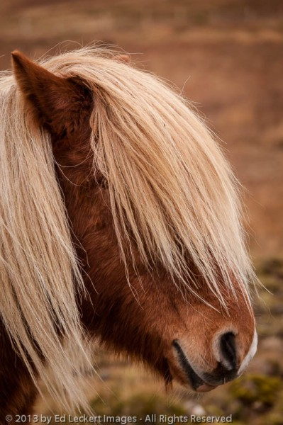 An-Icelandic-Horse-apparently-in-bad-need-of-a-haircut-poses-on-the-Snæfellsnes-Peninsula-Iceland