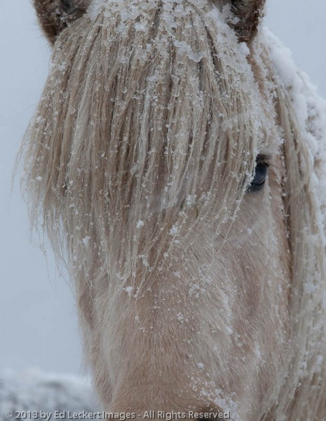 An Icelandic Horse poses in a snowstorm, on the Snæfellsnes Peninsula, Iceland.