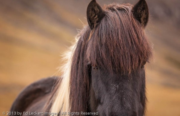 An Icelandic Horse stares down the camera, in West Iceland.