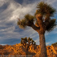 Joshua Trees at Sunset, Joshua Tree National Park, California