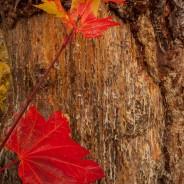 Vine Maple Leaves, Mt. Baker-Snoqualmie National Forest, Washington