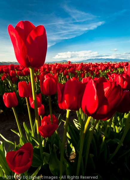 Overachiever, RoozenGaarde tulip farm, Mt. Vernon, Washington