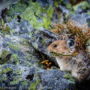 Pika with Sedges, Yoho National Park, British Columbia
