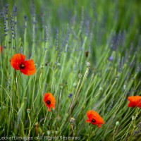 Poppies and Lavender, Provence, France