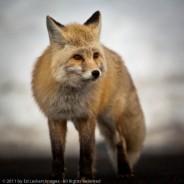 Red Fox, Mount Rainier National Park, Washington