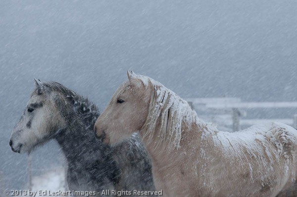 Two Icelandic Horses pose in a snowstorm on the Snæfellsnes Peninsula, Iceland