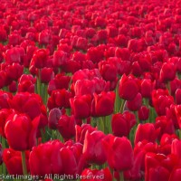 Sea of Red at the RoozenGaarde Tulip Farm, Mt. Vernon, Washington