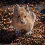 When Pikas Attack, Yoho National Park, British Columbia